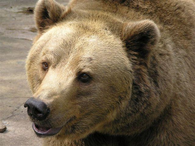 Medveď hnedý – symbol sily. Ktorá krajina sa s ním stotožňuje?