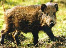 Takmer polovica diviakov zo Šumavy je rádioaktívna