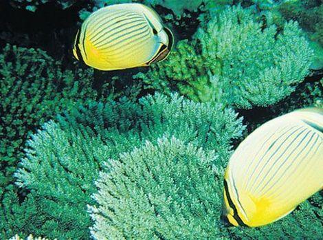 Fotografije morskih dubina - Page 10 20438-motylia-ryba-clanok