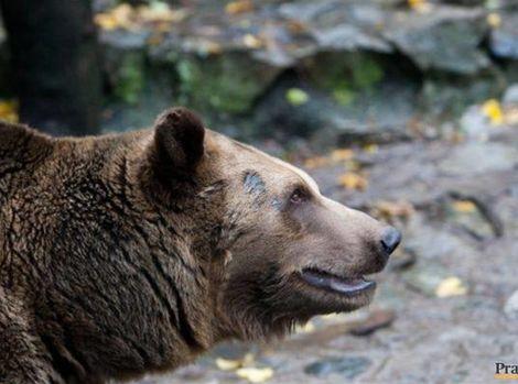 122381-medved-clanok