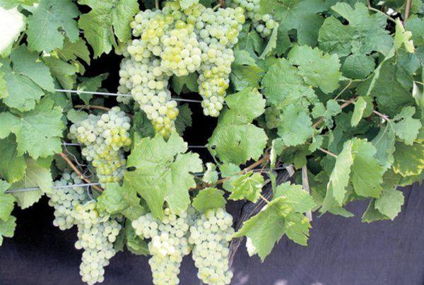 Odrodu Devín, ktorú vyšľachtila Dorota Pospíšilová, je u slovenských vinárov mimoriadne obľúbená.