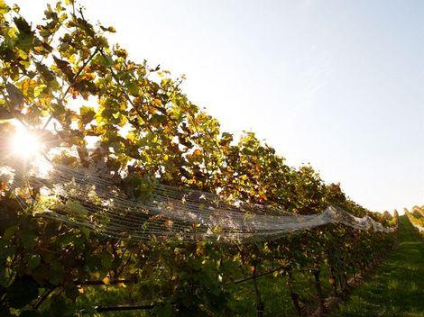 Vo viniciach úradovali parazity aj zlé počasie, hrozna je menej