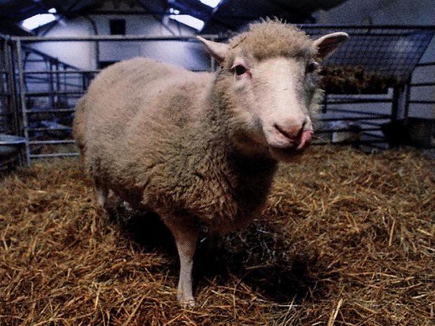Ovca Dolly.