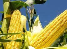 Kukurica pre chuť, ale i pre zdravie a krásu!