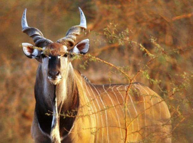 antilopa, antilopa Derbyho