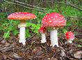 Amanita muscaria - Muchotrávka červená