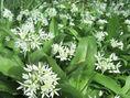 Cesnak medvedí - Allium ursinum