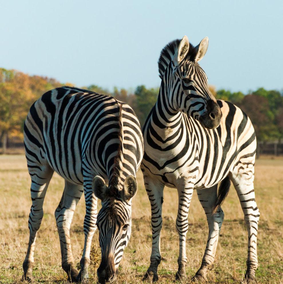 Zebra - ilustračné foto.