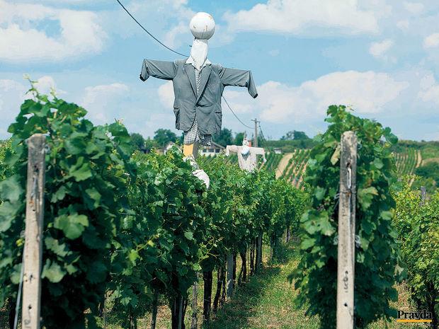 Strekov, víno, vinice, hrozno, vinohrad, strašiak