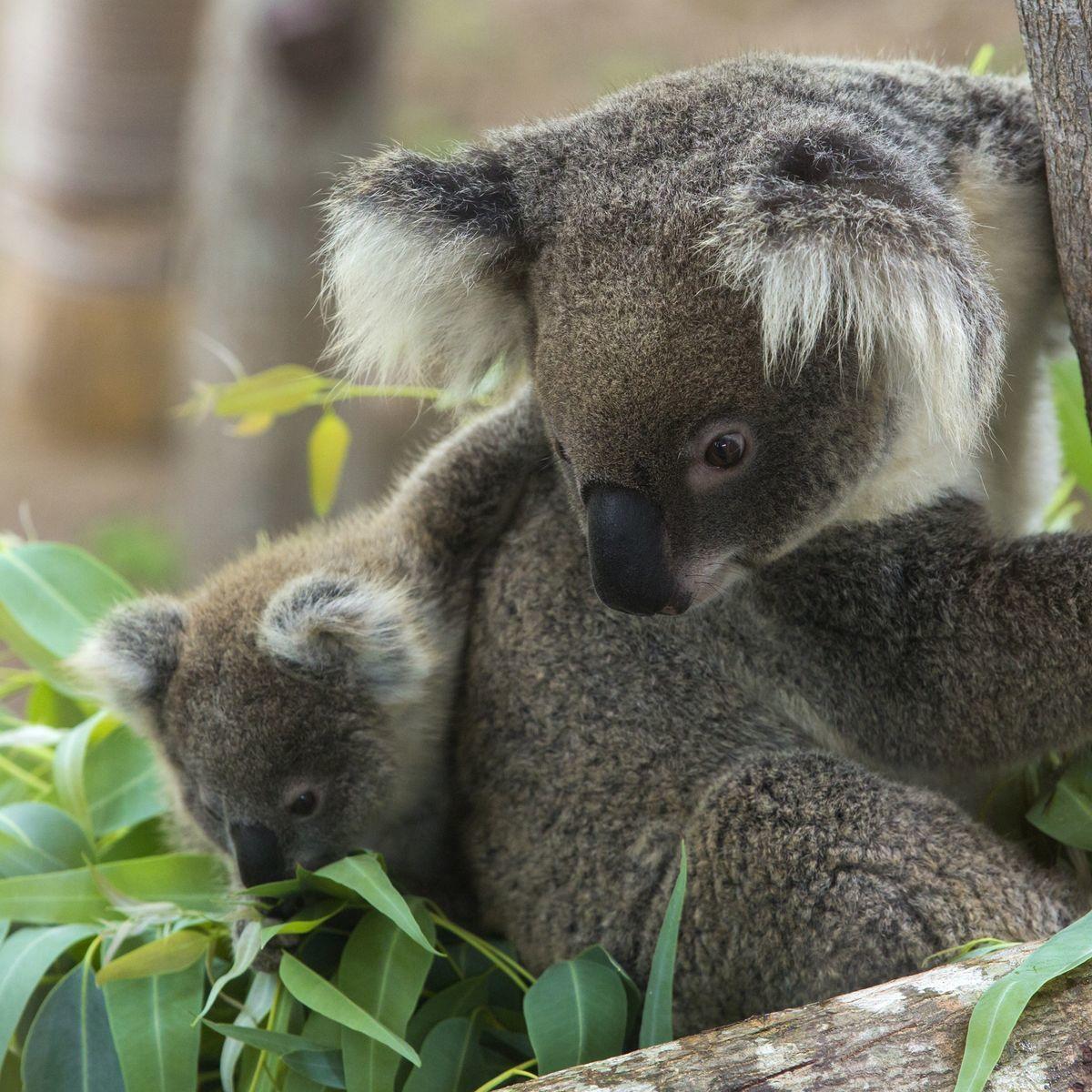 Koala medvedíkovitá je jedným z menej ohrozených druhov.