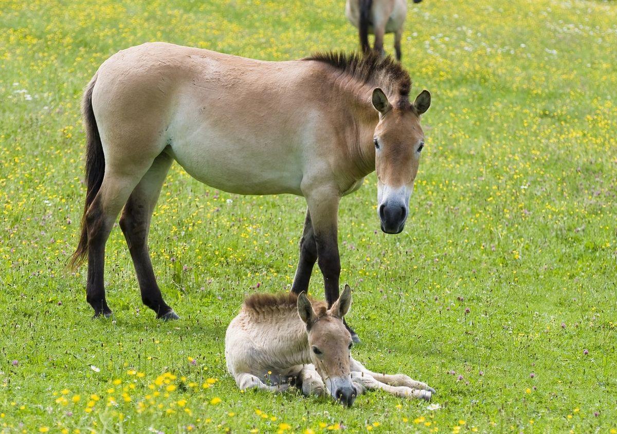 Kôň Przewalského už vo voľnej prírode vyhynul.