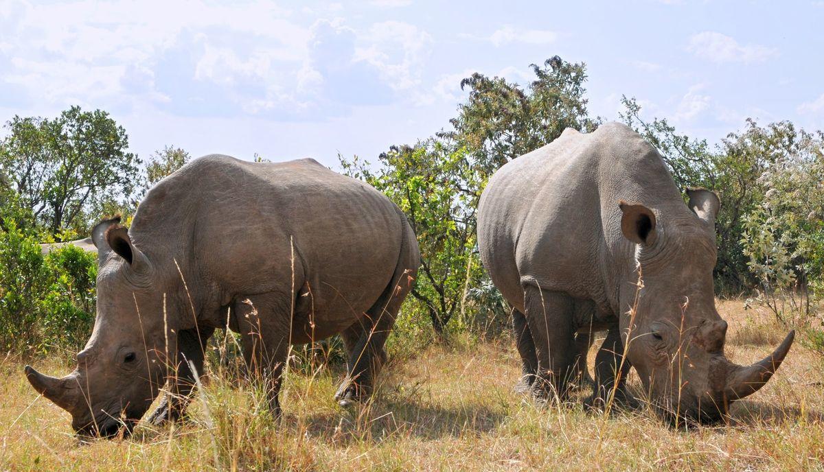 Kriticky ohrozený nosorožec ostrorohý.