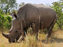 nosorožec ostrorohý