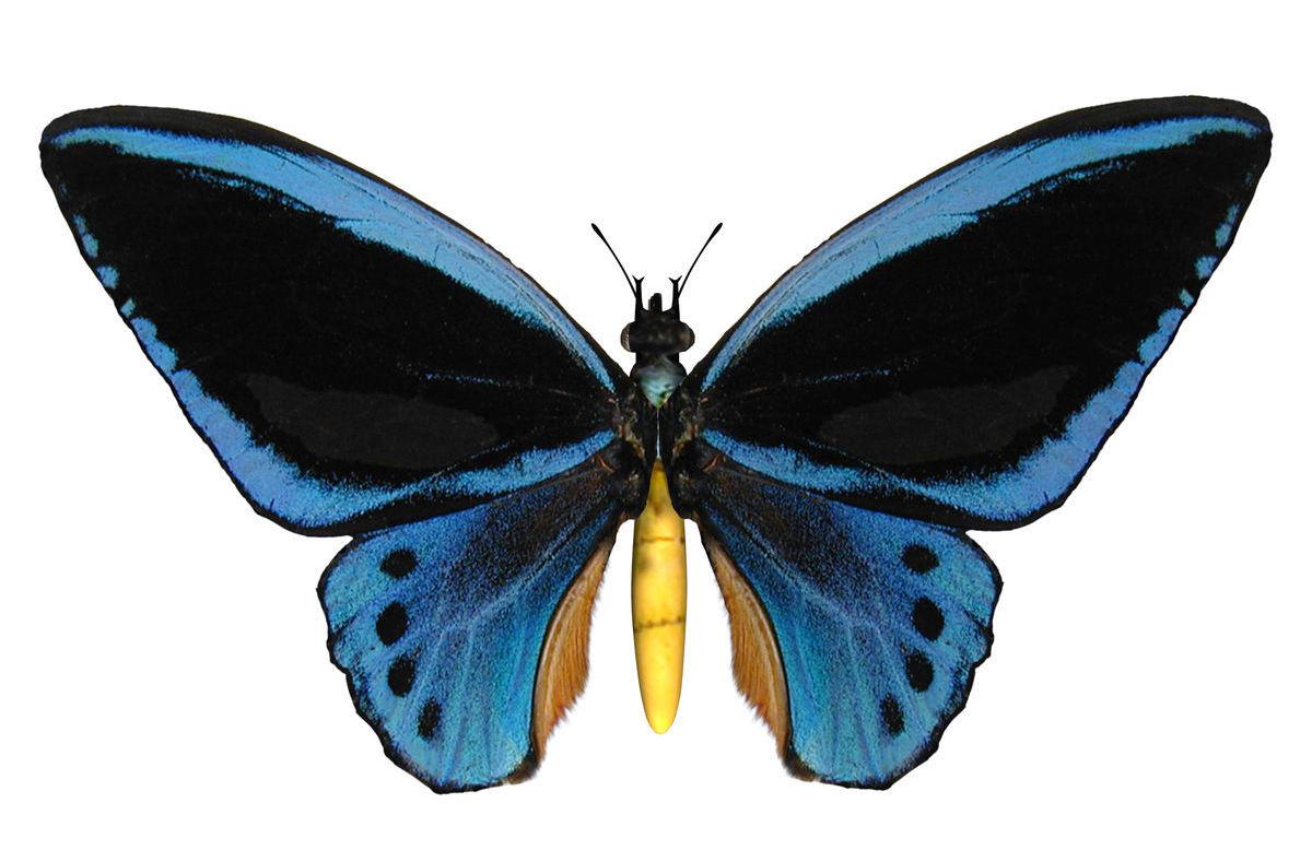 Mnoho veľkých motýľov patrí k ohrozeným druhom vrátane vtákokrídlovcov.