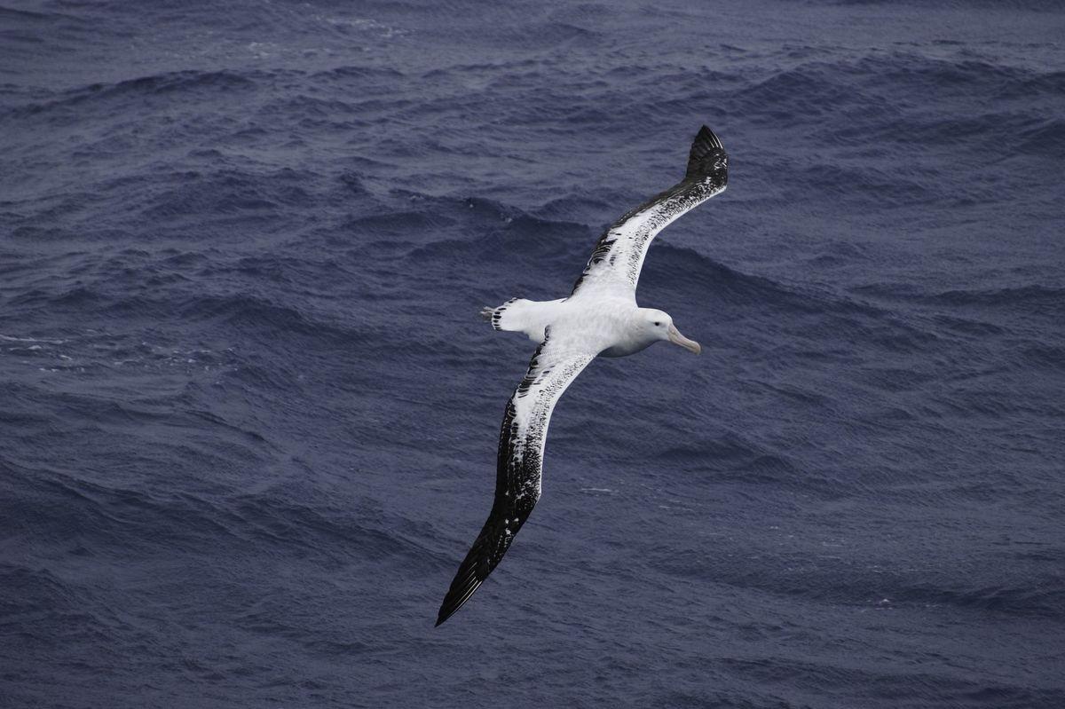 Albatros sťahovavý je jedným zo zraniteľných druhov.