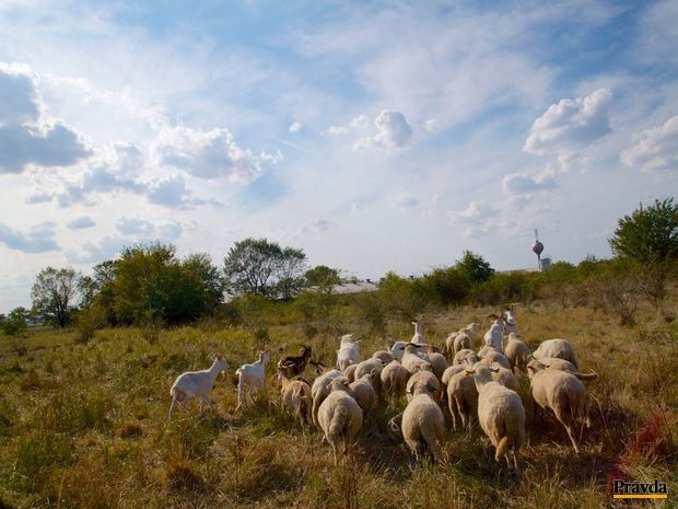 kozy, ovce, pasienok,