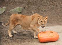tiger, zoo, tekvica,