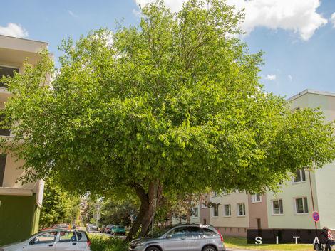 Vyhlásili strom roka. Má 200 rokov a rastie v Senici