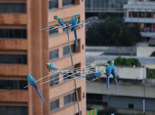 Caracas, anténa, papagáj, ara