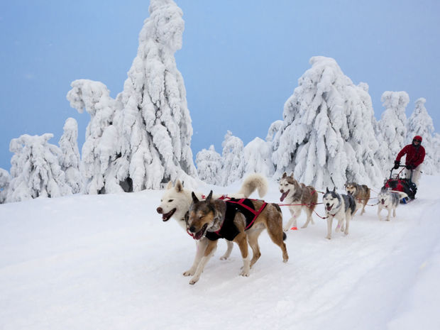 psy, záprahy, Šediváčkov long, Orlické hory, Česko,