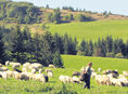 ovce, ovca, bača, paša