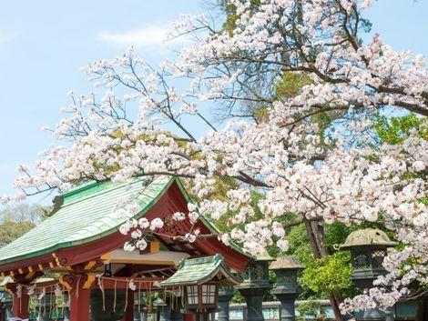 Japonské čerešňové správy hlásia: kvitnú, môžete začať