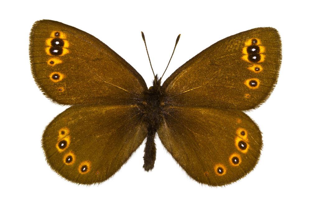 Ako sa nazýva motýľ, ktorý je na tomto obrázku?
