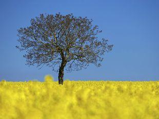 strom, repka olejná, kvety
