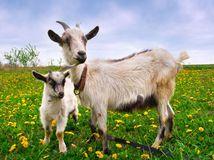 koza, kozľa, kozí syr