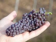 Ondrej Korpas, vinosad, Ruban, červené hrozno, vinič, vinica,