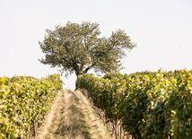 vinohrad, strom, pole, poľná cesta, vinič