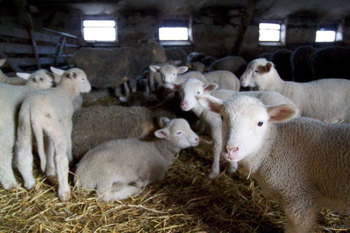 Nižšia daň z pridanej hodnoty by mala obchodníkov motivovať k predaju pstruhov či mäsa z oviec.