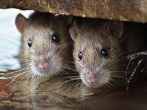 potkan, krysa, potkany, krysy, myši, hlodavce, škodcovia, deratizácia