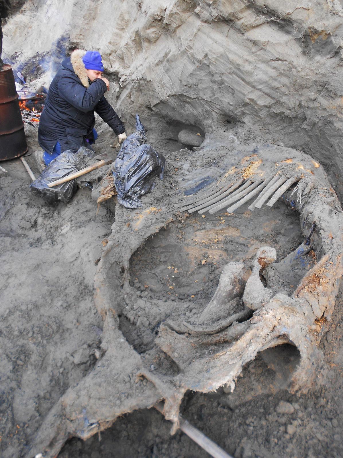 Mamut zo Sopočnajej Kargy (SK) nájdený v centrálnej sibírskej Arktíde posunul ľuďmi obývané územie spred 40-tisíc rokov z 57. rovnobežky až na 72. rovnobežku.