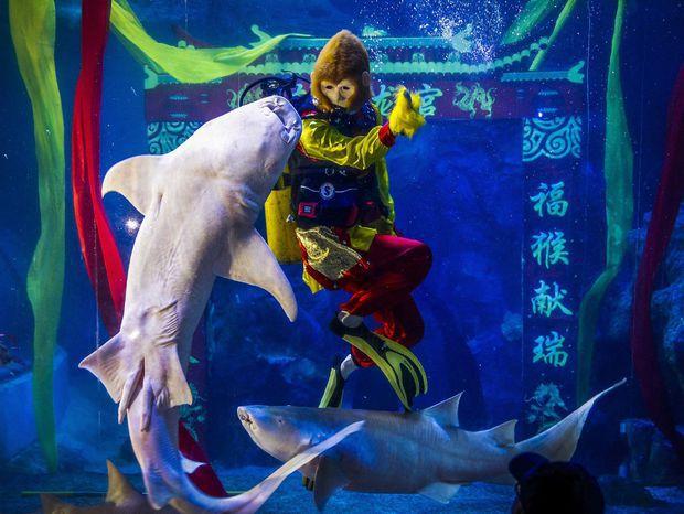 Potápač v kostýme Opičieho kráľa predvádza číslo so žralokom v akváriu. Nadchádzajúci nový rok bude rokom opice.