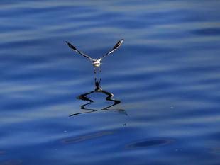 vták, more, voda, čajka, Libanon,