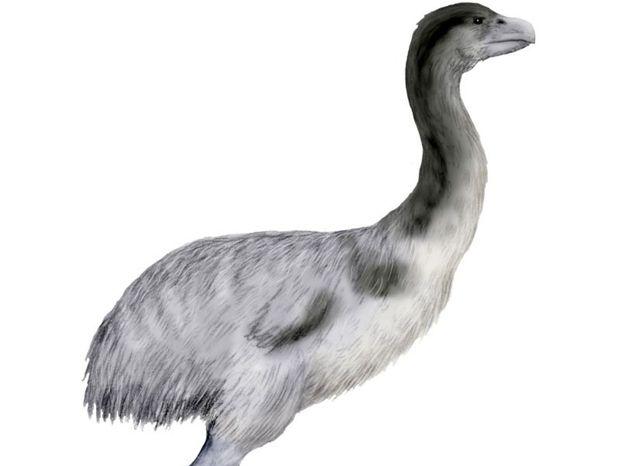 Genyornis newtoni, vták, vyhynuté zviera