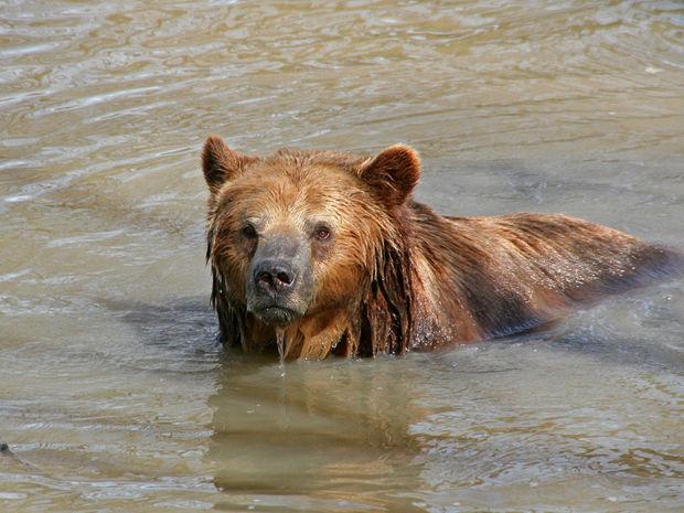 medveď, voda, zimný spánok, medveď hnedý