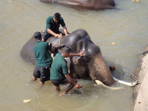 Kúpanie slona v rieke Ma Oya v Pinnawale.