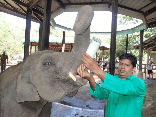 Kŕmenie sloníčat mliekom v sloňom sirotinci v Pinnawale.