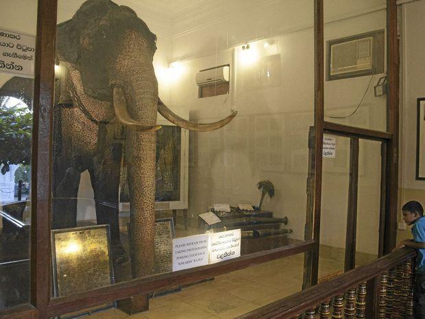 Najslávnejší slon Rádža stojí vypchatý v sklenej vitríne.