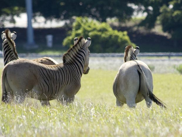 zebra, kvaga, prírodná rezervácia, Reibeek