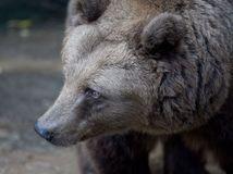 ZOO, medveď, hnedý medveď,