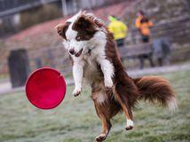 pes, hra, tanier, lietajúci tanier, frisbee, Nemecko,
