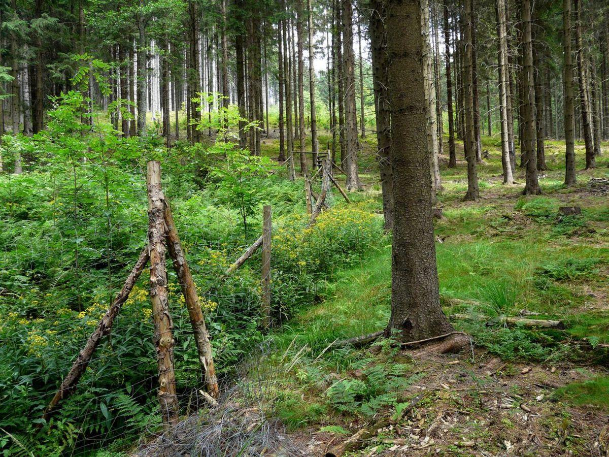 Vpravo je les, ktorý vyžrala zver. Vľavo za oplôtkou je neporušený porast.