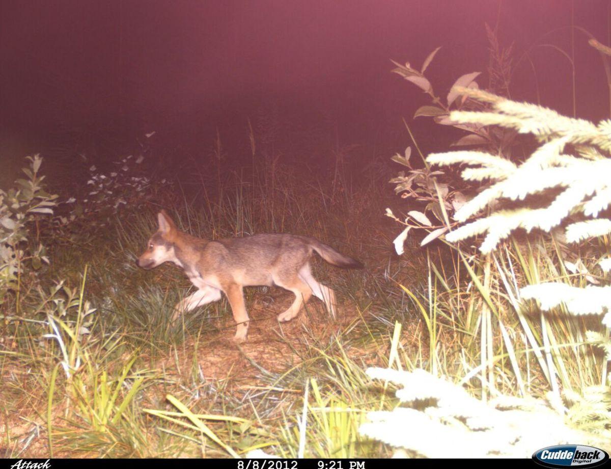 Mladý vlk na zábere z fotopasce na Kysuciach.