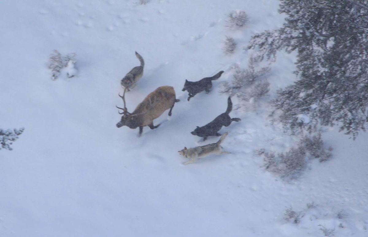 Vlky v Yellowstone prenasledujú korisť.