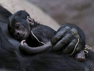 opica, gorila, mláďa, opičiatko, Shinda