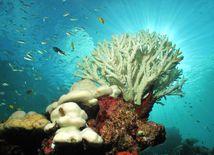 koral, biely koral, koralový útes, Austrália, more, ryby, oceán, otepľovanie