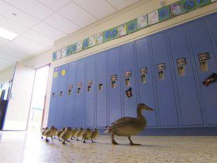 kačička, kačka, škola, skrinky, Michigan